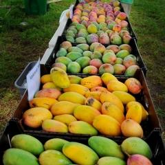 Mangoes-29