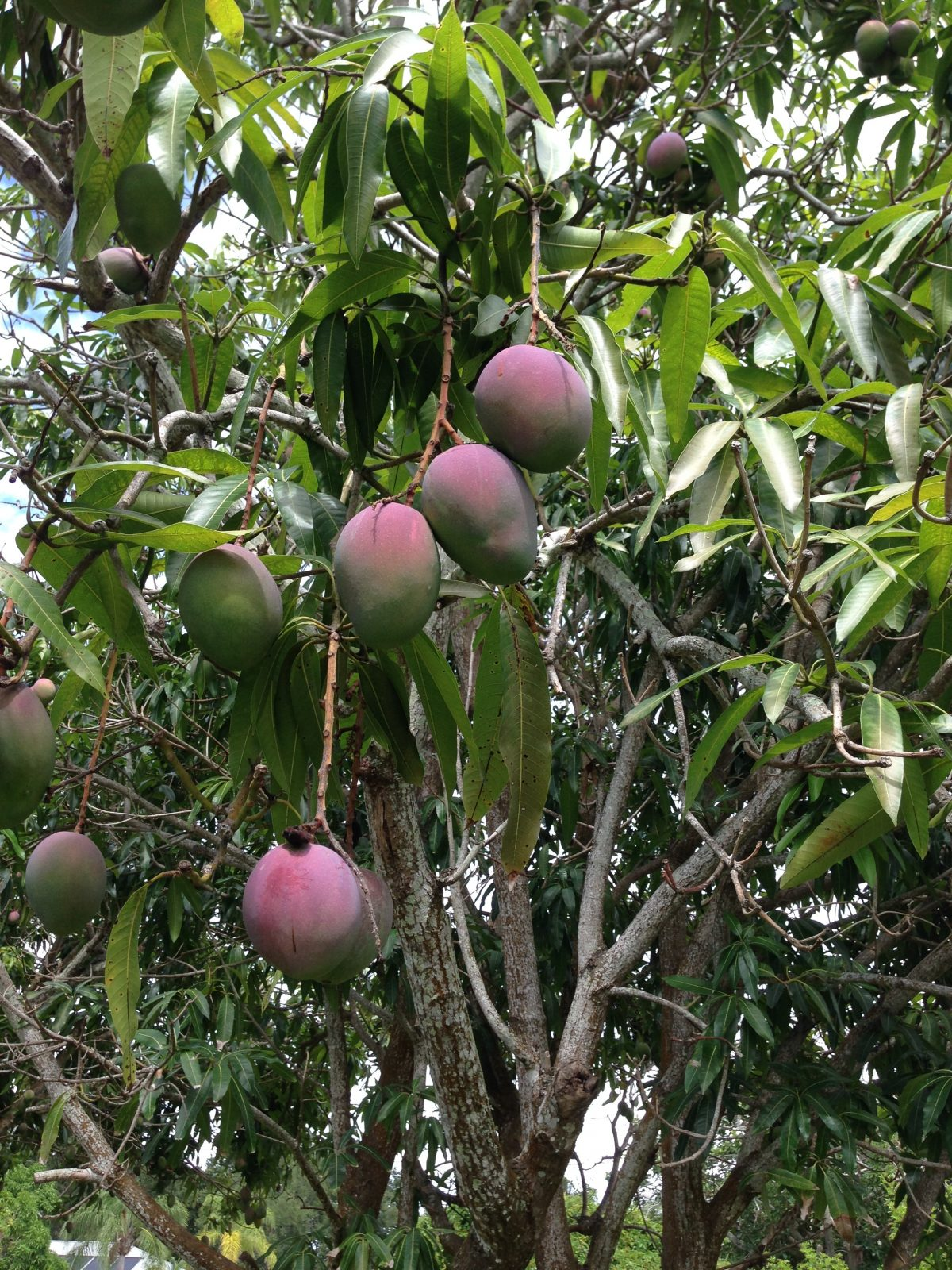 photo-of-mangos
