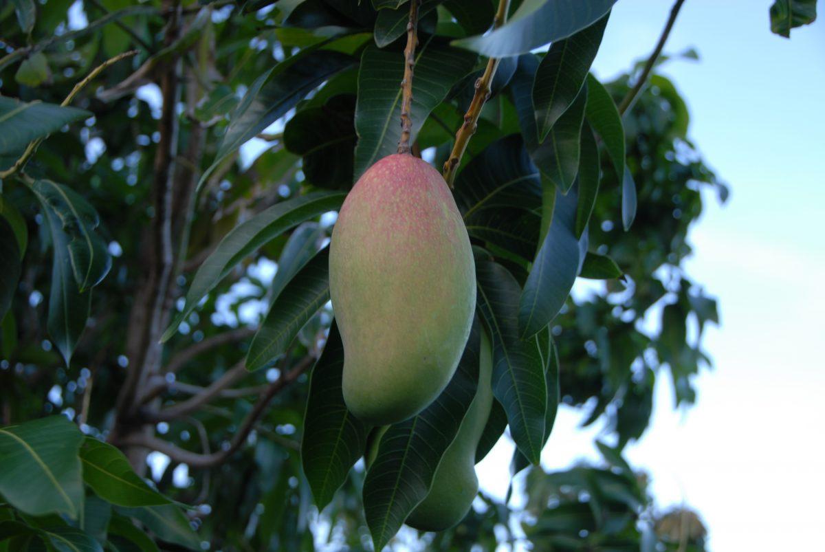 Merritt Island Mango