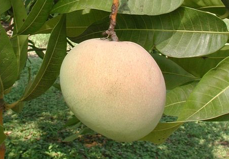 Fat Mango