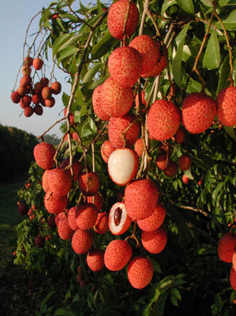 Lychees are ready